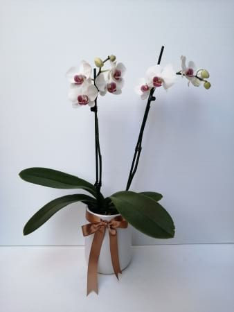 Molly the Moth Orchid