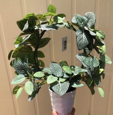 Fittonia Oval Ring in Pot