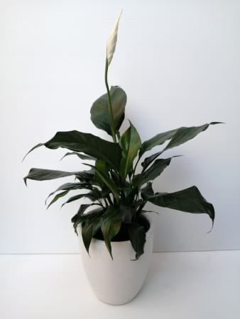 Penny the Peace Lily
